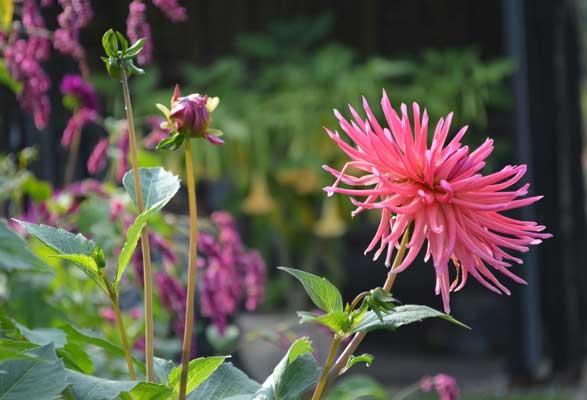 Dahlias Are Divine Zinnia Garden Design